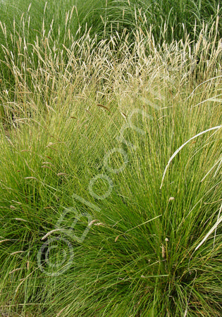 Alaska hardy plant profile for Ornamental grasses that stay green all year