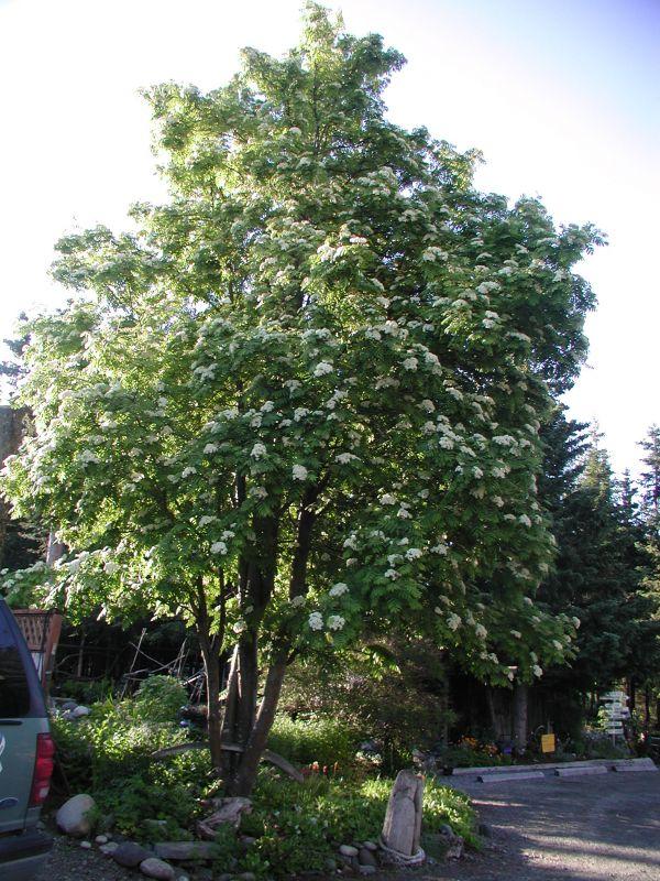 Alaska Hardy 174 Trees And Shrubs
