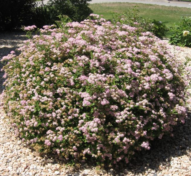 Alaska hardy trees and shrubs for Hardy low maintenance shrubs
