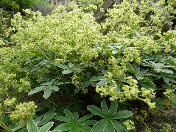 Alaska Hardy® | Plant Catalog
