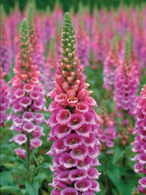 Alaska hardy plant profile thumbnail photo mightylinksfo