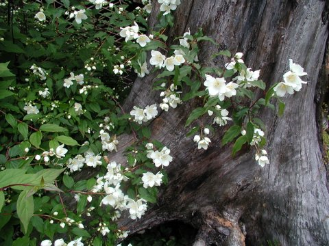 Alaska hardy trees and shrubs extremely fragrant white flowers dark green foliage red stems best selling shrub at alaska hardy size at maturity height x width ht 5 sp mightylinksfo